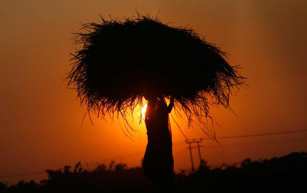 Índia, 24.11.2011 | Camponesa carrega a sua colheita de um arrozal, ao pôr-do-sol, nos arredores de Agartala, Tripura.