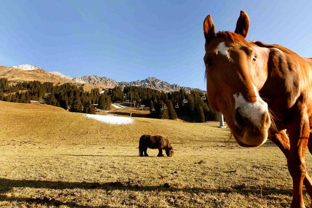 Suíça, 25.11.2011 | Cavalos em montanha suíça num Outono sem neve: a mancha branca que se vê, em Lenzerheide, foi criada durante testes de canhões de neve artificial. As estâncias suíças já adiaram aberturas por falta de neve.
