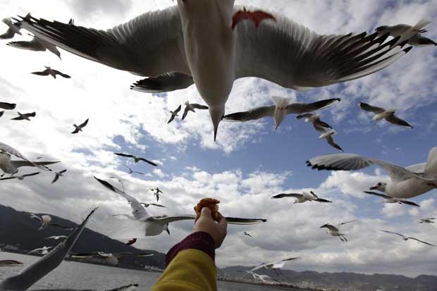 China, 29.11.2011 | Gaivota em mergulho acrobático para apanhar comida. No lago Dianchi, Kunming – para onde anualmente voam milhares de gaivotas em fuga do Inverno da Sibéria.