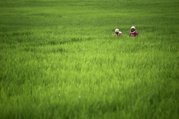 A trabalhar num arrozal na aldeia de Khokana, a sul de Katmandu.