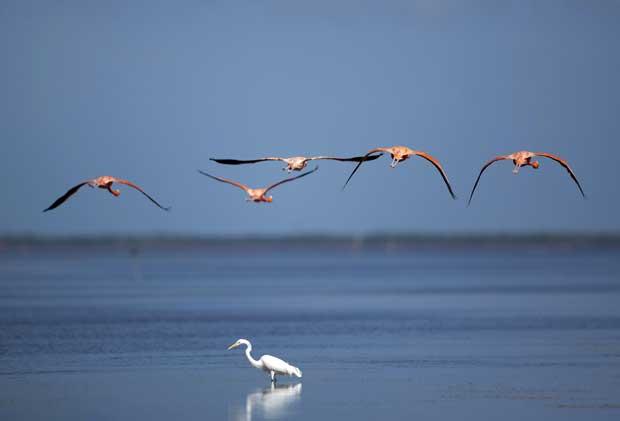 México, 6.12.2011 | Flamingos em voo sobre uma garça-real na reserve de Celestún, na Península de Yucatán.