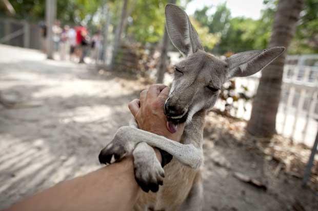 Jungle Island - um amigável canguru
