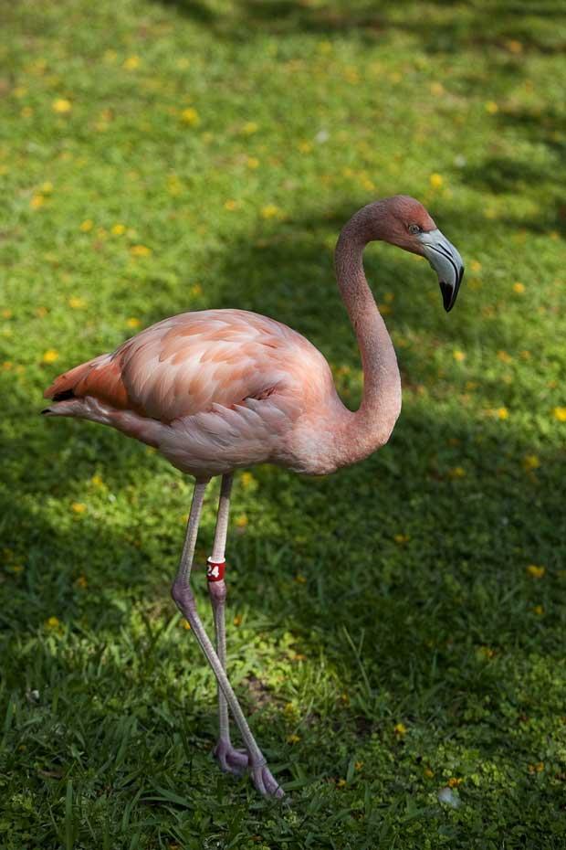 Jungle Island - Um dos muitos flamingos