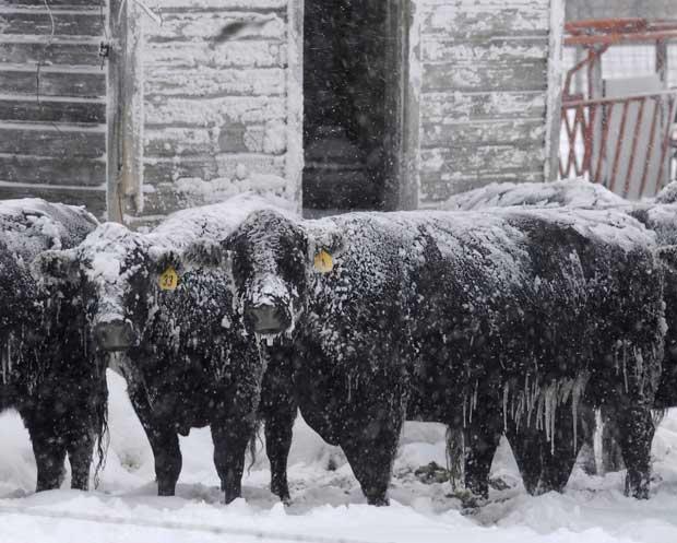 EUA, 20.12.2011 | Uma manada de gado Angus tenta proteger-se da tempestade de neve num curral perto de Ellis, Kansas.