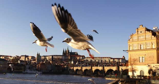 República Checa, 20.12.2011 | Gaivotas em voo sobre o rio Vltava, no centro de Praga, com o castelo no horizonte.