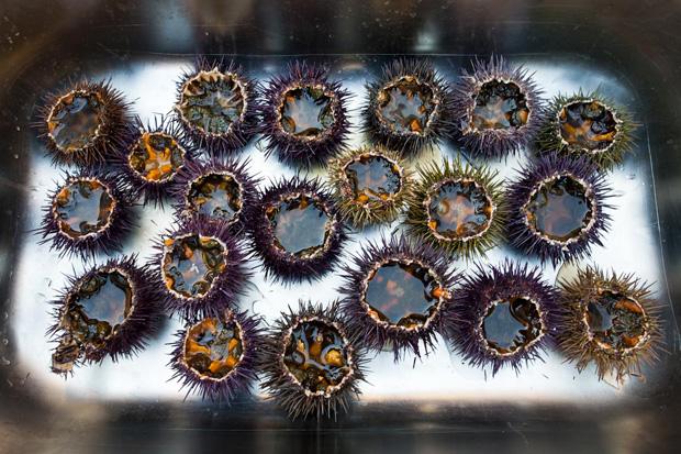 Osouriços usados para o prato de vieiras foram apanhados em Peniche