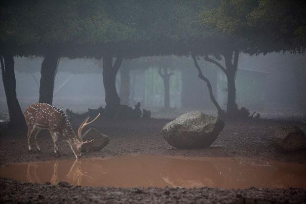 ISRAEL. 17.01.2012. Um veado sob o nevoeiro dos montes Golãs, perto da fronteira com a Síria.