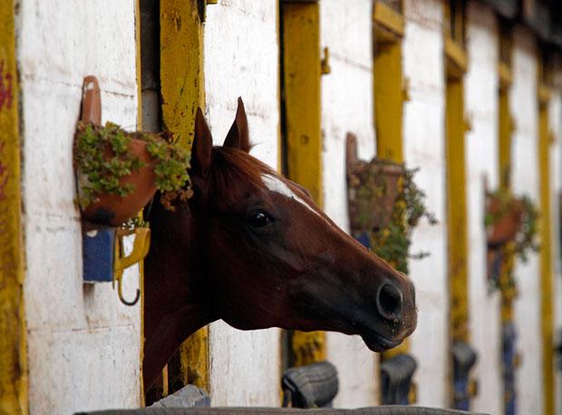 QUÉNIA. 22.01.2012. Um cavalo de corrida no seu estábulo, em Nairobi.