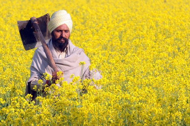 ÍNDIA. 02.01.2012. Um agricultor indiano no seu campo de mostardeiras, perto de  Muktsar. A tempo do festival da Primavera, Basant Panchami, marcado precisamente pelo desabrochar destas amarelas flores.