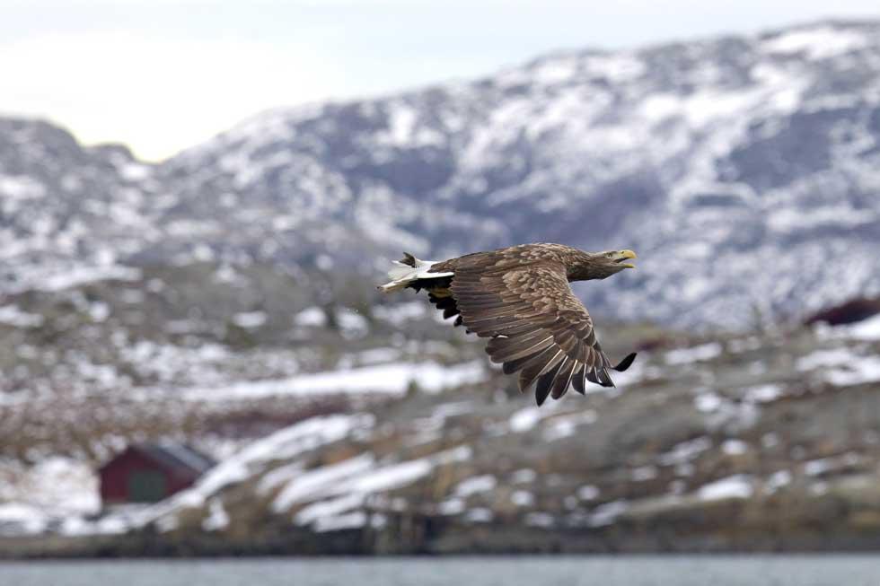 NORUEGA. 01.02.2012. Uma águia-rabalva (de cauda branca) em voo pelo Storfjorden, fiorde na costa ocidental, a 200km de Trondheim