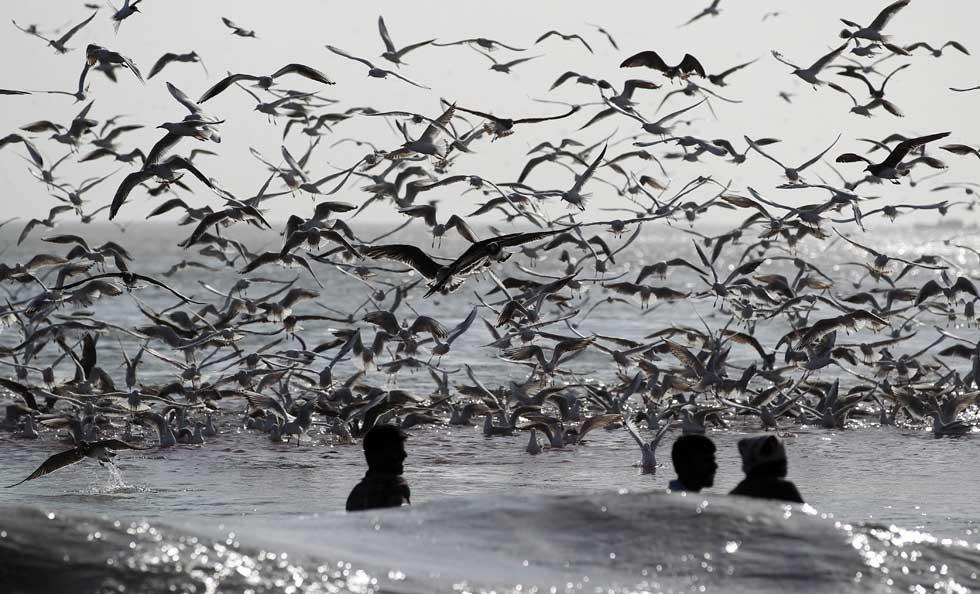 OMÃ, 04.02.2012. Eterna união entre gaivotas e pescadores, aqui a lidarem com as suas redes. Na costa de Dibba al-Fujairah.