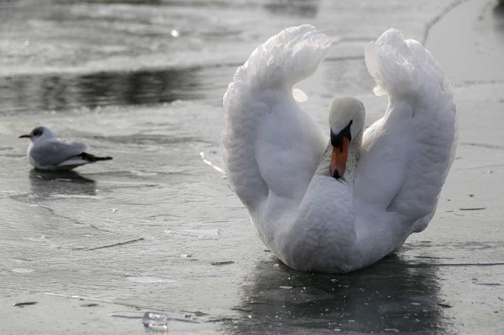 FRANÇA, 07.07.2012. Cisne em gelo, no porto de Estrasburgo.