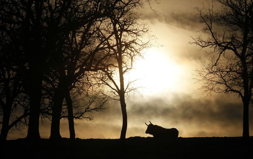 ESPANHA, 10.02.2012. Um touro de Burgos, elemento das manadas conhecidas como