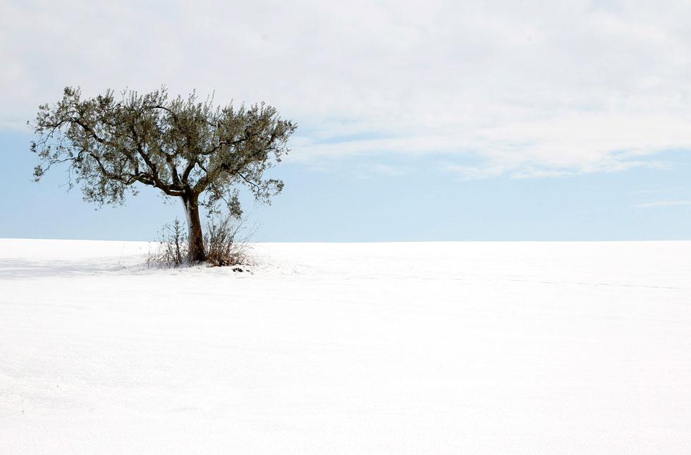 ITÁLIA, 12.02.2012. Uma solitária oliveira, nos arredores de Roma, após mais um nevão.