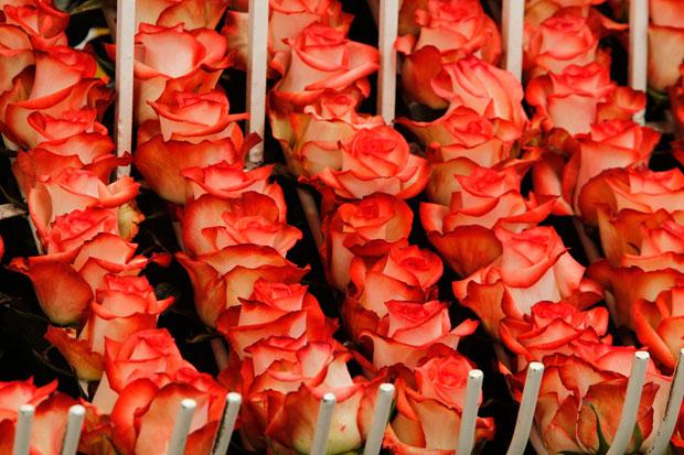 EQUADOR. Parte inicial da grande viagem destas rosas: partirão do Equador para o mundo a tempo do São Valentim