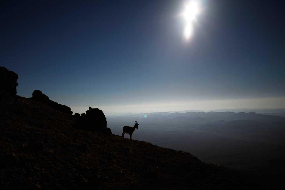 ISRAEL, 05.03.2012. Uma camurça saboreia o nascer do sol, em Israel, no deserto de Negev