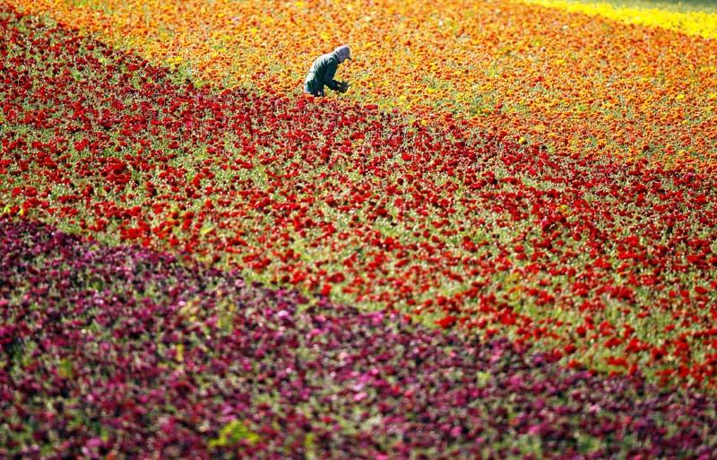 EUA, 27.03.2012. A colher flores nos campos de Carlsbad, na Califórnia