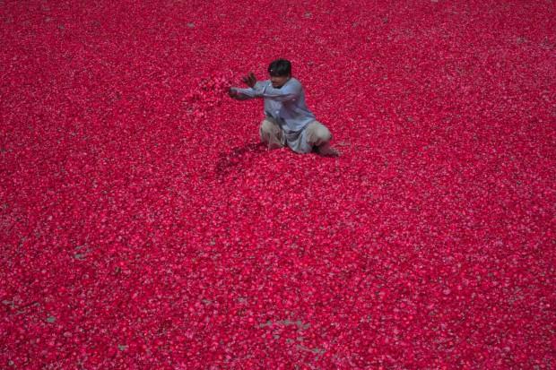 PAQUISTÃO, 22.05.2012. Um homem espalha pétalas de rosa para secarem. Serão usadas para incenso. Em Lahore