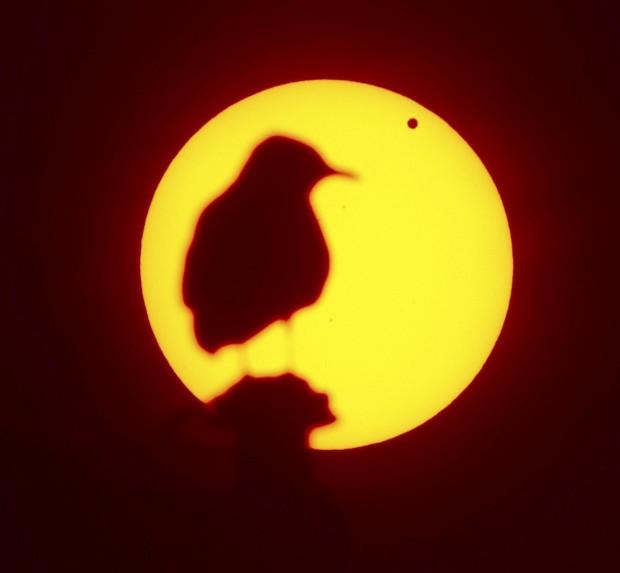SUÉCIA, 06.06.2012. Uma gaivota observa enquanto Vénus passa frente ao Sol, em Malmo