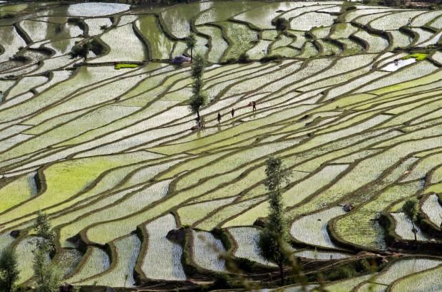 Caxemira (administrada pela Índia),  21.06.2012. Agricultores cruzam campos de arroz em Bandipora.
