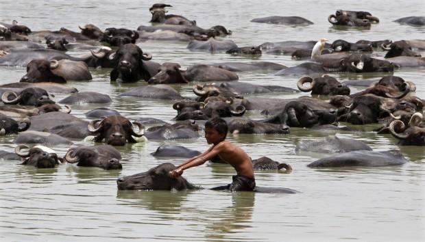 ÍNDIA, 24.06.2012. Um rapaz cavalga um búfalo num dia quente  em Jetapura, estado de Gujarat.