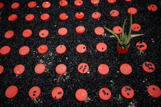 Jardim A Despensa de Tomate