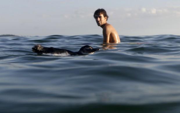BRASIL, 05.07.2012. Um pinguim nada junto de um surfista na praia do Arpoador, Rio de Janeiro.