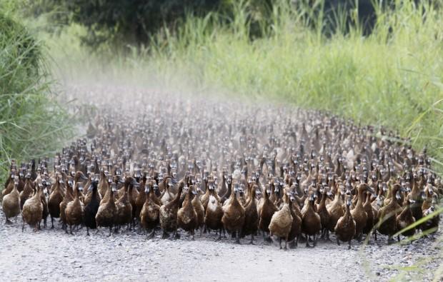 TAILÂNDIA, 13.07.2012. A marcha dos patos? Em Nakhonsawan, a norte de Banguecoque