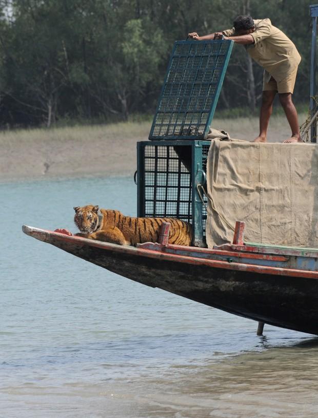 Um tigre é libertado na área da floresta de Storekhali