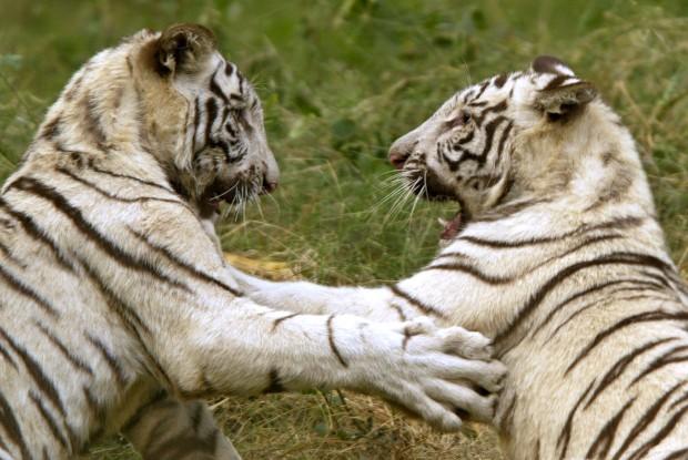 Dois tigres brancos brincam no Zoo de Nova Deli