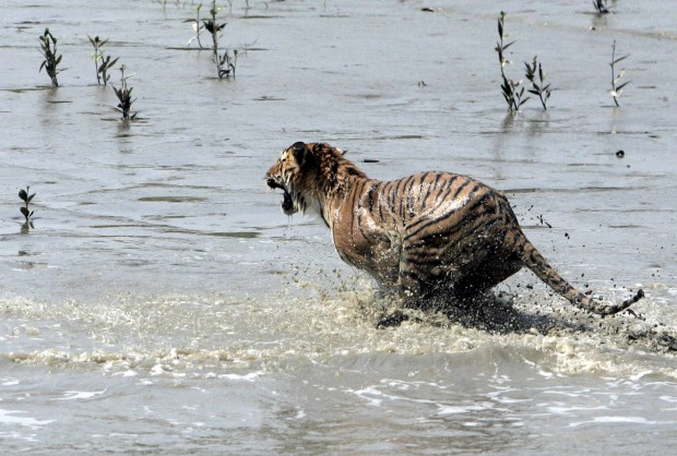 Depois de ser libertata de uma jaula, a correr pelas águas do rio Sundari Kati,  em Sunderbans, 150km de Calcutá