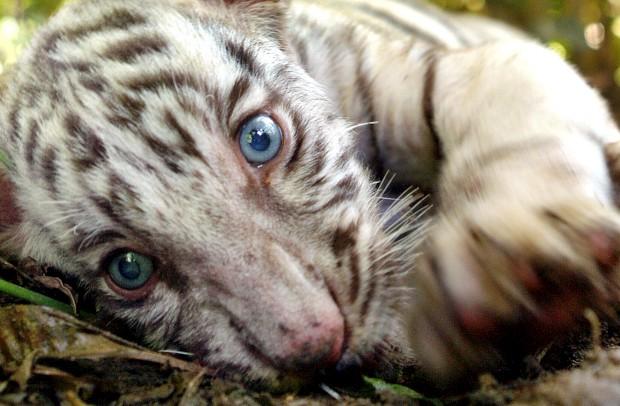 Um tigre de bengala no parque natural de Khairbari Sul