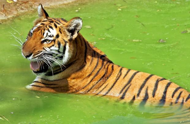 Tigre de Bengala no zoo de Nova Deli