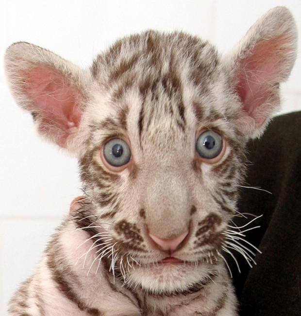 Dois meses e três dias, a ser observado por um veterinário do zoo de Chhatbir