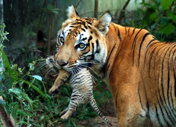 Uma tigre leva a sua cria no parque de Guwahati