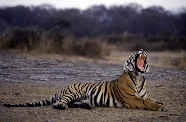 Turismo na Índia sim, mas longe dos tigres