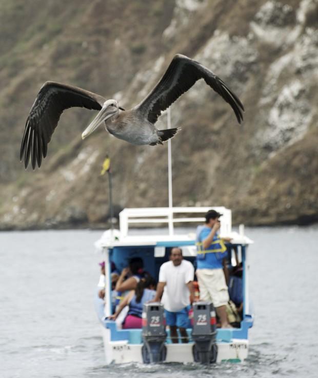 EQUADOR, 29.07.2012. O voo do pelicano à frente de um barco de turistas observadores de baleias em Puerto Lopez