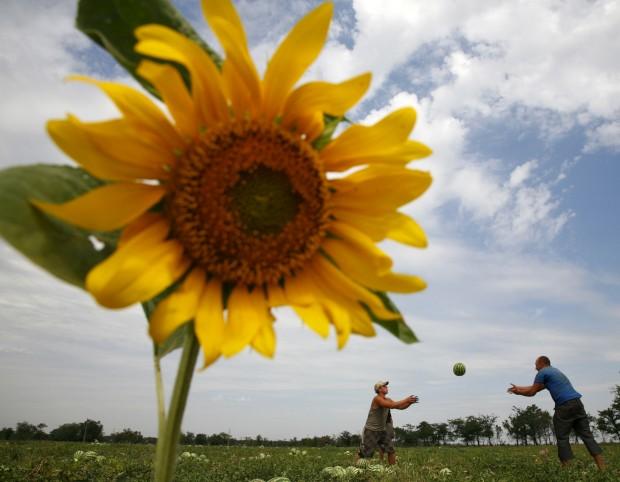 UCRÂNIA, 01.08.2012. Num campo agrícola, perto da cidade de Sofiyivka
