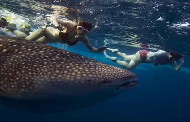 MALDIVAS, 30.08.2012. A nadar junto do maior peixe do mundo, o tubarão-baleia que, apesar do nome, se alimenta essencialmente de plâncton
