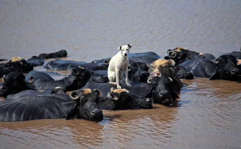 PAQUISTÃO, 28.08.2012. Mais real que a ficção: Um cão aproveita o frescor do rio Ravi, em Lahore, sentado num búfalo.
