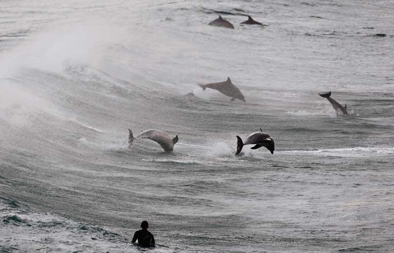 AUSTRÁLIA, 25/09/2012. Um surfista observa um grupo de golfinhos na Bondi Beach, em Sydney