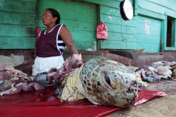 Os esforços para pôr fim à caça de tartarugas (e/ou dos seus ovos) prossegue pelo mundo. Mas a sopa de   tartaruga e a sua carne continuam a ser um alimento desejado em várias partes do mundo. Aqui, uma mulher   Miskito, grupo indígena da Nicarágua (e Honduras), vende carne de tartaruga em Puerto Cabezas, na costa caribenha nicaraguense.
