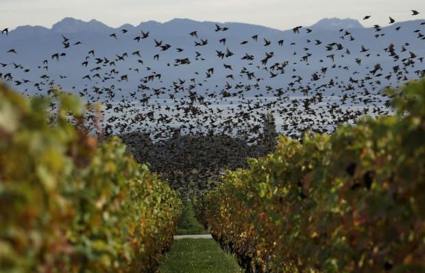 SUÍÇA, 17.10.2012. Andorinhas pelas vinhas de Tartegnin, perto de Genebra