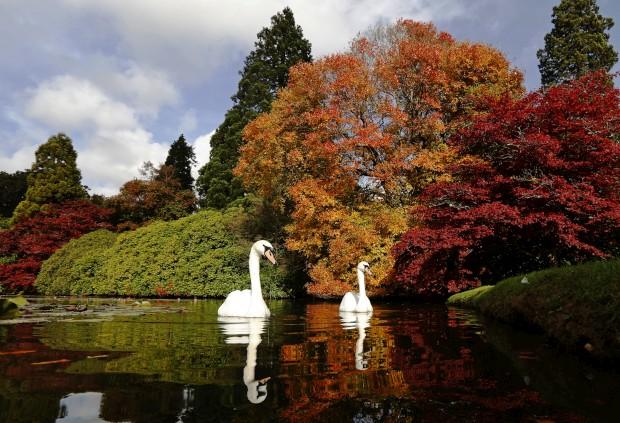 REINO UNIDO, 17.10.2012. Um par de cisnes nos jardins do parque de Sheffield.