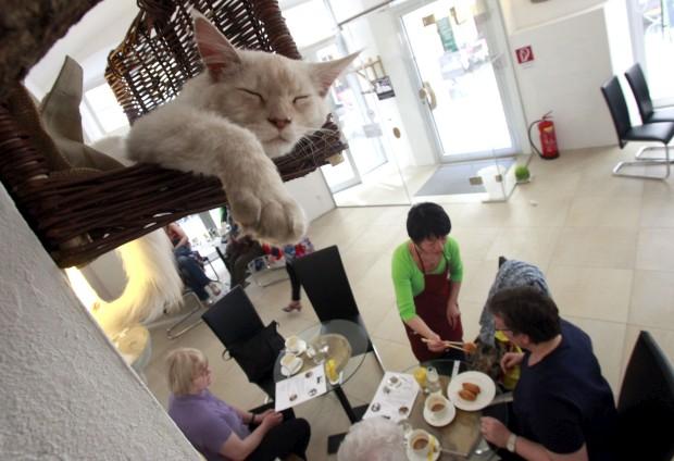 O gato Luca é um dos cinco anfitriões deste café dos gatos, em Viena, Áustria. O café Neko (japonês para gato) demorou três anos a ser negociados com as autoridades austríacas (questões de segurança alimentar e saúde, sobretudo) mas abriu na Primavera de 2012 para alegria dos amantes de felinos. Fazem companhia aos clientes, pavoneiam-se e aceitam festas de quase toda a gente, escolhendo criteriosamente os colos que mais gostam. A clientela considera o sítio muito relaxante.