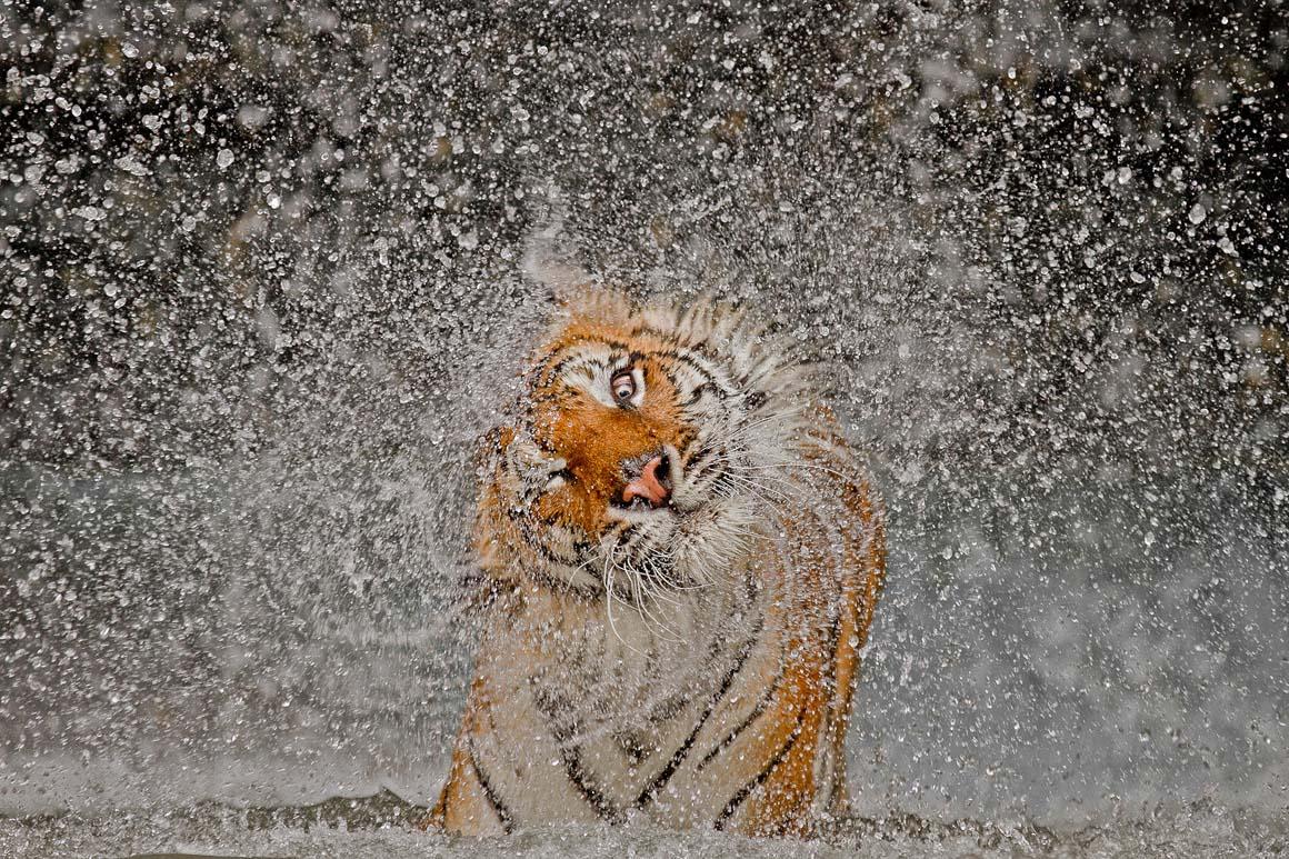 Grande Prémio: O tigre fémea Busaba a tomar banho no zoológico de Khao Kheow, na Tailândia.