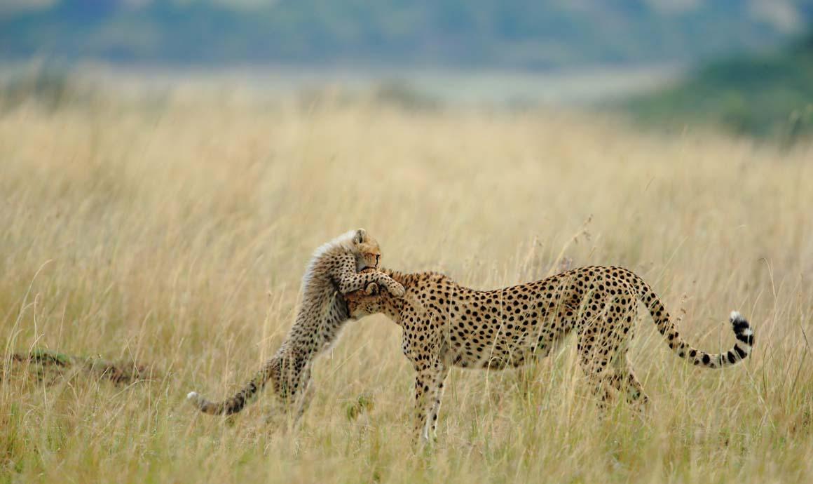 Escolha dos leitores/Natureza: A mãe chita e a sua cria, na Reserva Nacional de Maasai Mara, no Quénia.
