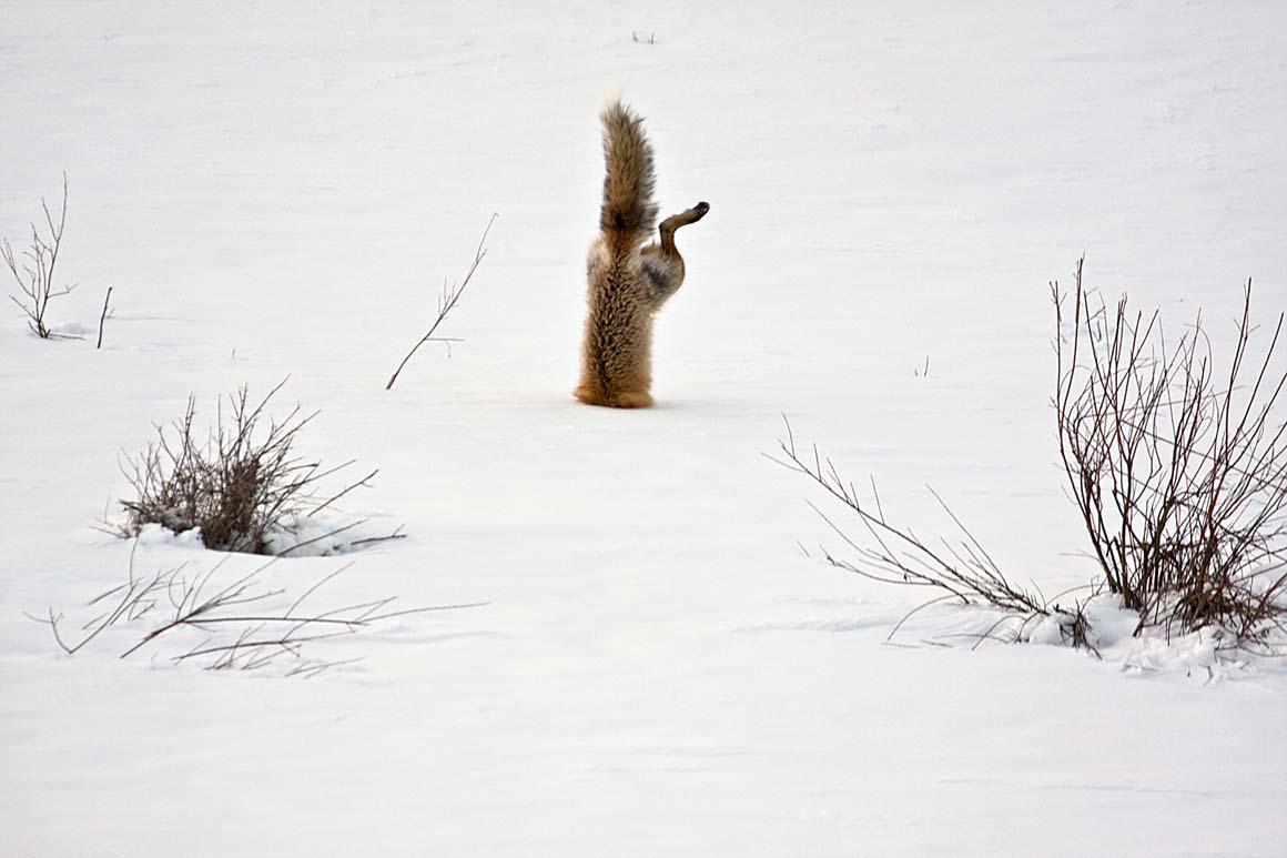Menção Honrosa: Com a sua audição excepcional, uma raposa vermelha procura um rato sob 60 centímetros de neve, no Parque Squaw Creek, nos EUA