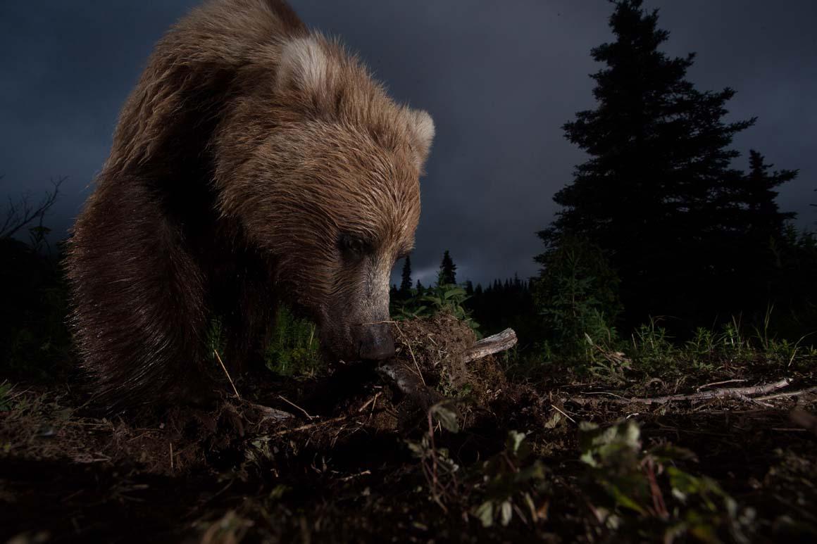 Menção Honrosa: Esta imagem de um urso no Alasca foi obtida com um aparelho improvisado de disparo automático.