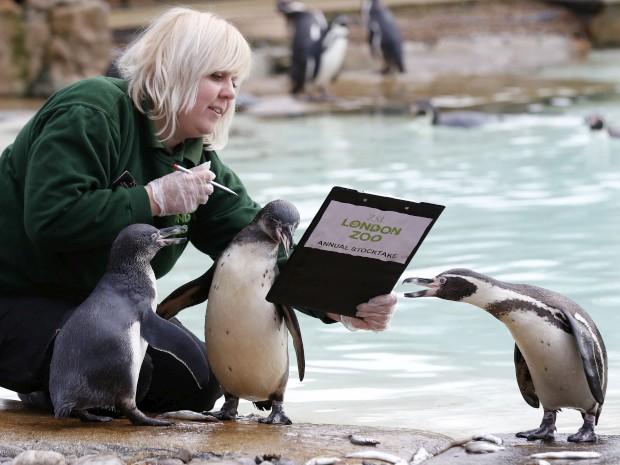 REINO UNIDO, 3.1.2013. No Zoo de Londres, durante a contagem anual dos animais